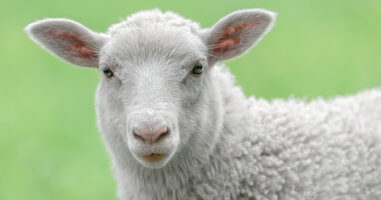 Portrait photo of sheep