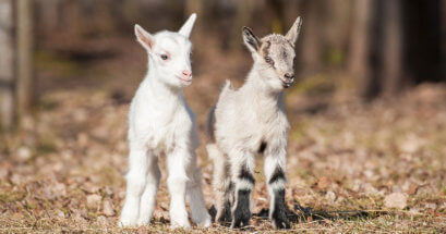 Two Little Goats
