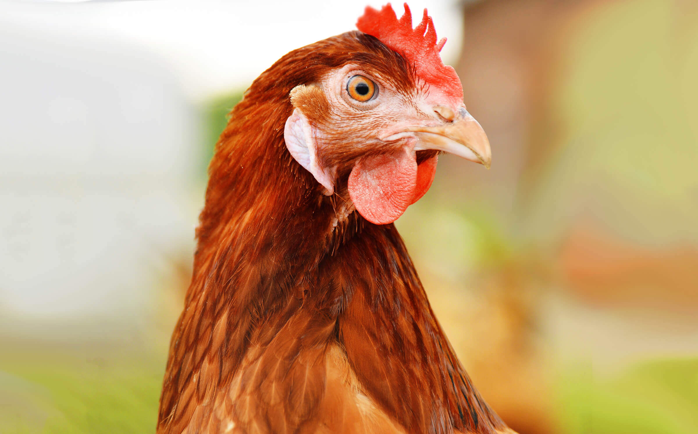 image of brown chicken