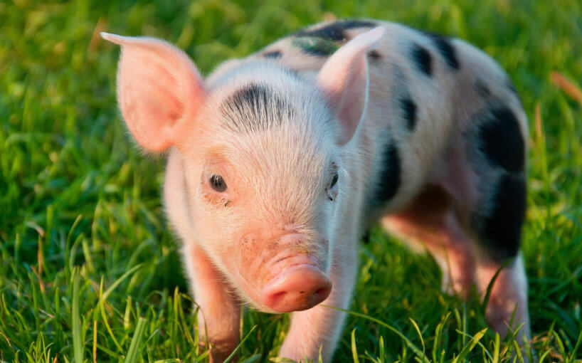 Image of piglet in grass