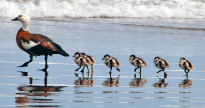 Mother and five baby birds walking along the shoreline
